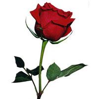 one_rose_image_1.jpg