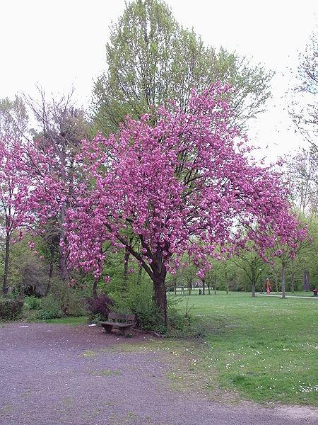 450px-Prunus_serrulata_(2004-04-19).jpg